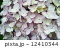 薄ピンク 花 紫陽花の写真 12410344