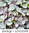 薄ピンク 花 紫陽花の写真 12410346