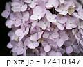 薄ピンク 花 紫陽花の写真 12410347