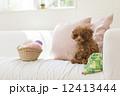 編み物とトイプードル 12413444