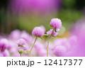 センニチコウ 千日紅 花の写真 12417377