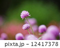 センニチコウ 千日紅 花の写真 12417378