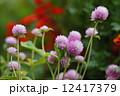 センニチコウ 千日紅 花の写真 12417379
