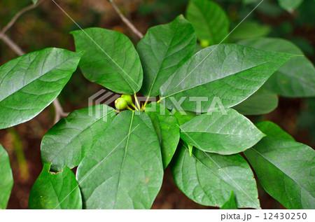 樹木・イヌビア クワ科 12430250