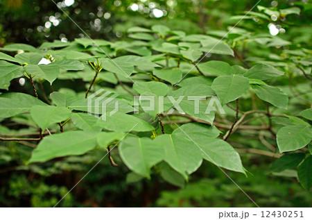 樹木・イヌビア クワ科 12430251