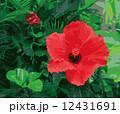 花 植物 ハイビスカスのイラスト 12431691