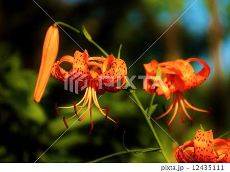 野に咲くオレンジ色の百合の花 12435111