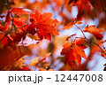 Colored Japanese maple leaves 12447008