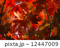 Colored Japanese maple leaves 12447009