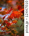Colored Japanese maple leaves 12447010
