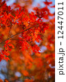 Colored Japanese maple leaves 12447011