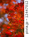 Colored Japanese maple leaves 12447012