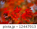 Colored Japanese maple leaves 12447013