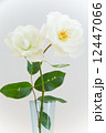 白いバラ 12447066
