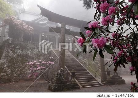 5月 シャクナゲの玉置神社 紀伊半島の春景色 12447156