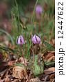 片栗カタクリ 一年のうち10か月お休みしている春の妖精 12447622