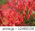 ヒガンバナ 12460156