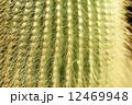 金晃丸 棘 サボテンの写真 12469948