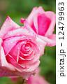 薔薇の花 12479963