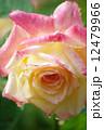 バラの花 12479966
