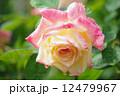 バラの花 12479967