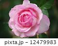 ばら 薔薇 水滴の写真 12479983