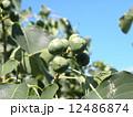 これから黒く熟し白い種を生むナンキンハゼの未熟な実 12486874