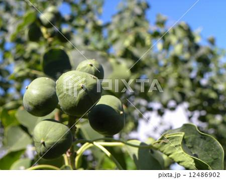 これから黒く熟し白い種を生むナンキンハゼの未熟な実 12486902