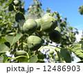 これから黒く熟し白い種を生むナンキンハゼの未熟な実 12486903