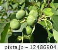 これから黒く熟し白い種を生むナンキンハゼの未熟な実 12486904