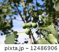 これから黒く熟し白い種を生むナンキンハゼの未熟な実 12486906