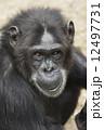 チンパンジー 12497731