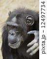 チンパンジー 12497734