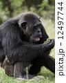 チンパンジー 12497744