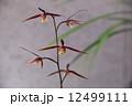 緋燕という寒蘭の魅力 12499111