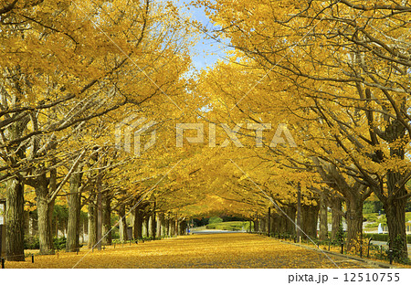 昭和記念公園紅葉の銀杏並木 12510755