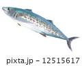 出世魚 鰆 海水魚のイラスト 12515617