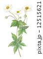貴船菊 多年草 秋明菊のイラスト 12515621