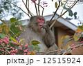 ニホンザル 食事中 猿の写真 12515924