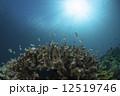 サンゴ 小魚 海中の写真 12519746