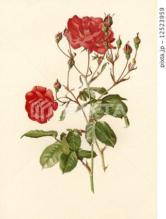 アンティーク・イラスト 「バラ」のイラスト素材 [12523959] - PIXTA