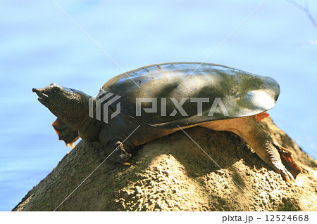 生き物 爬虫類 スッポン、公園の池で日光浴。よっぽど気持ちがいいのか近づいても逃げませんでした 12524668