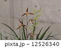 土佐寒蘭 寒蘭 東洋ランの写真 12526340