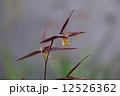 土佐寒蘭 寒蘭 蘭の写真 12526362