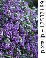 コマチフジ 花 満開の写真 12532189