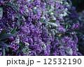 コマチフジ 花 満開の写真 12532190