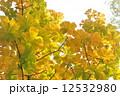栃の木の紅葉 12532980