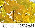 栃の木の紅葉 12532984