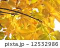 栃の木の紅葉 12532986