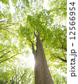 見上げる 巨木 雑木林の写真 12566954